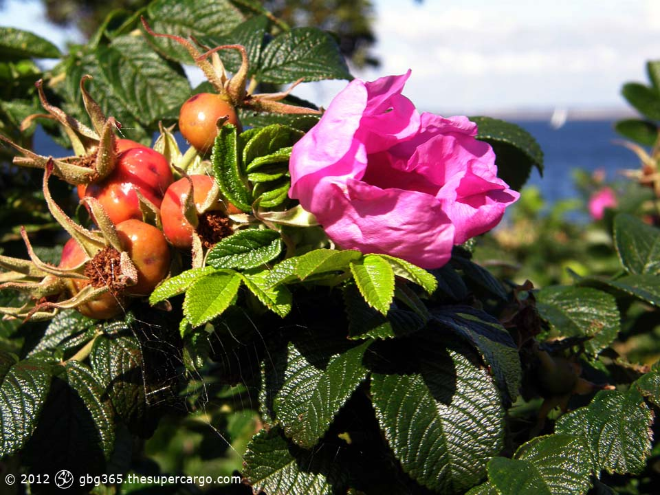 Briar rose with rose hips against the sea