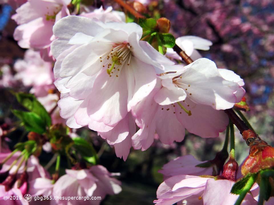 Flowering cherry macro
