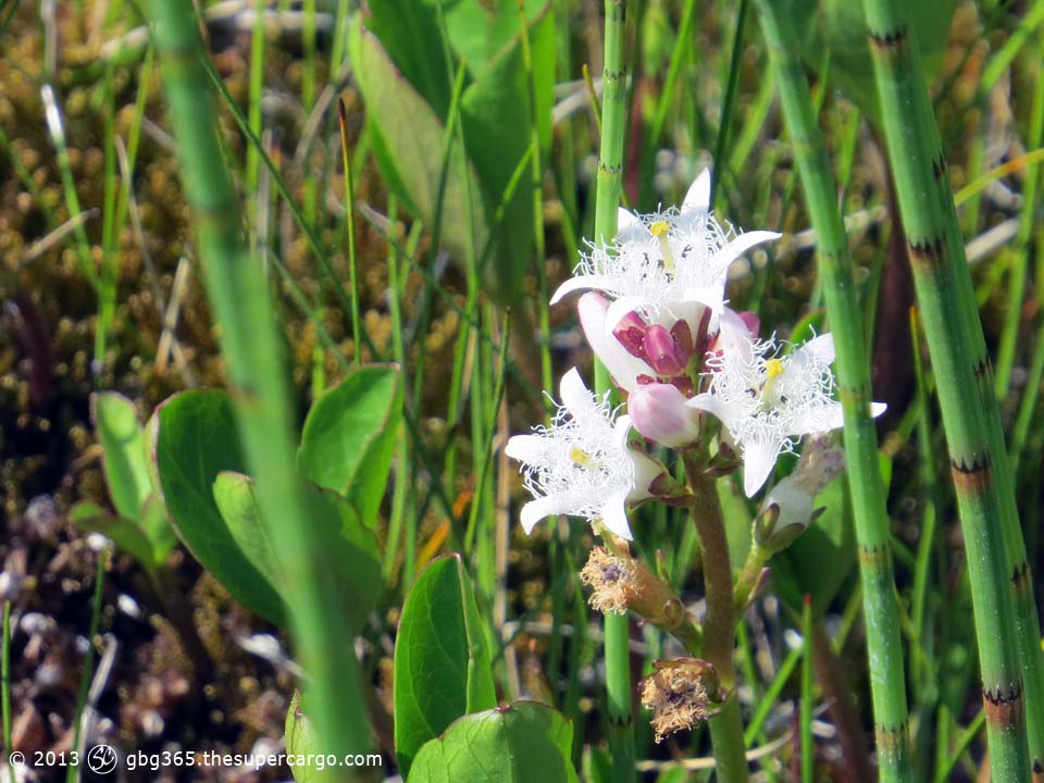 Wetland flower