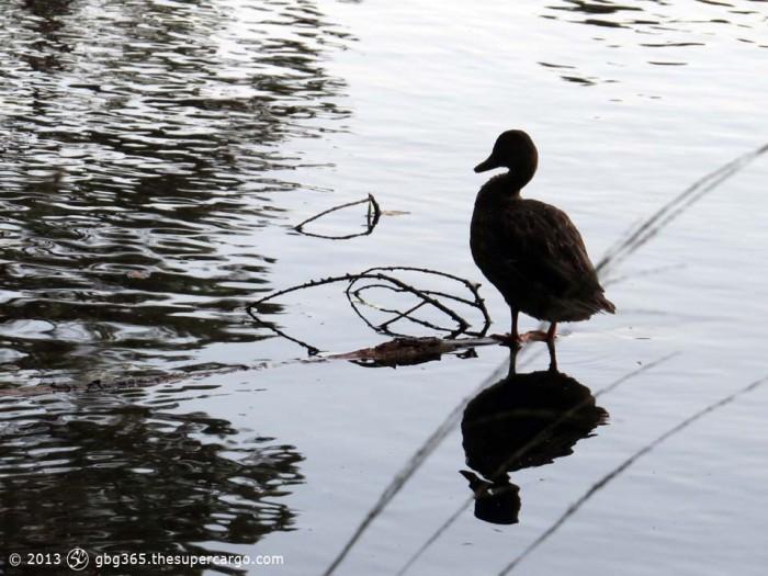 Slätta duck standing - morning light