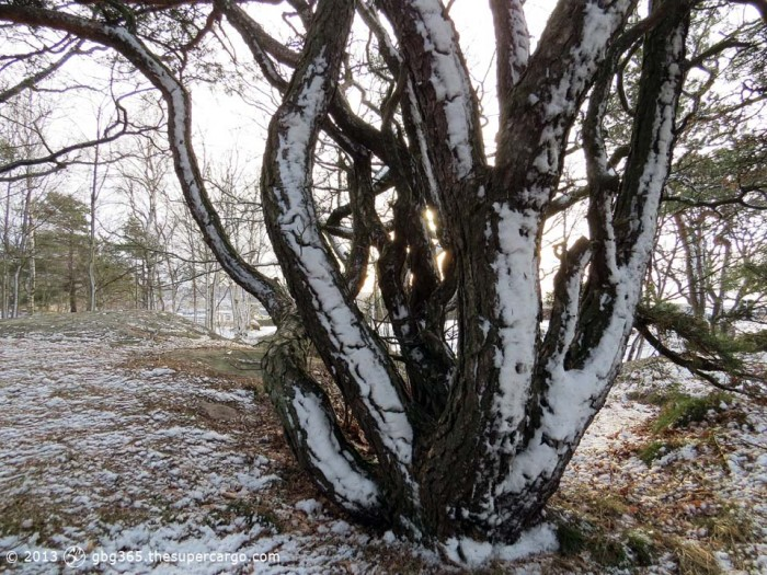 Snow on pine trunks