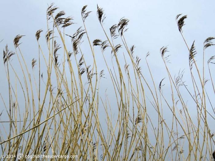Dry reeds 2