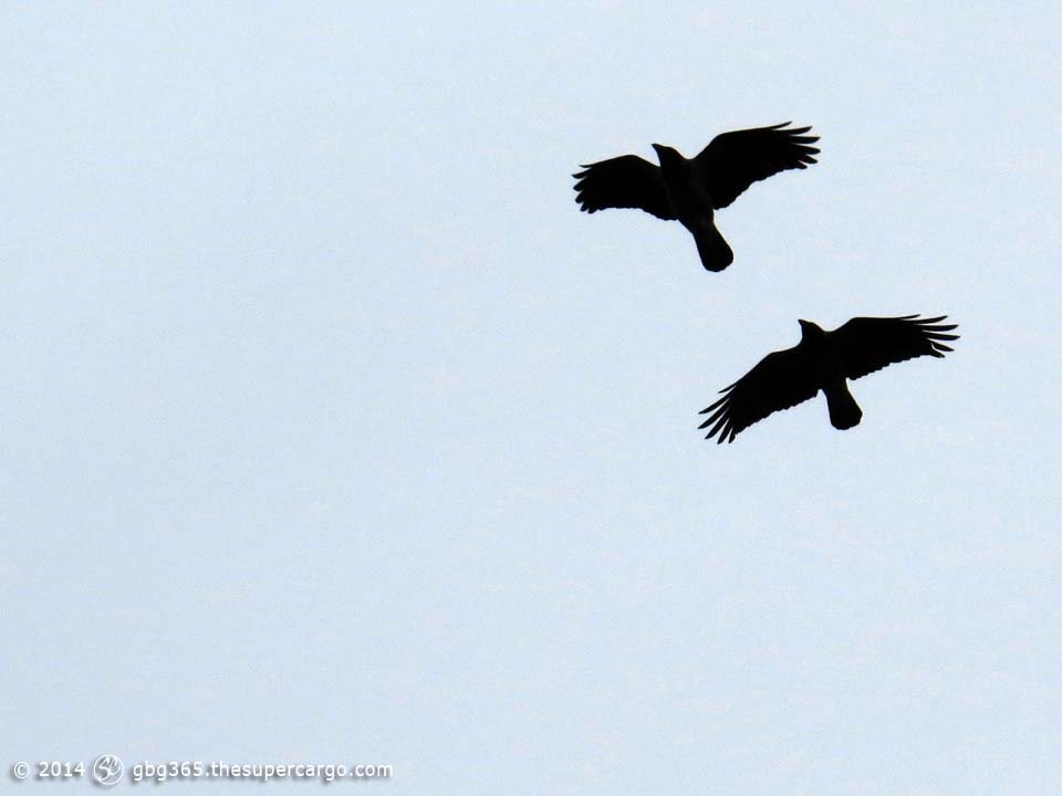 Flying crows 1