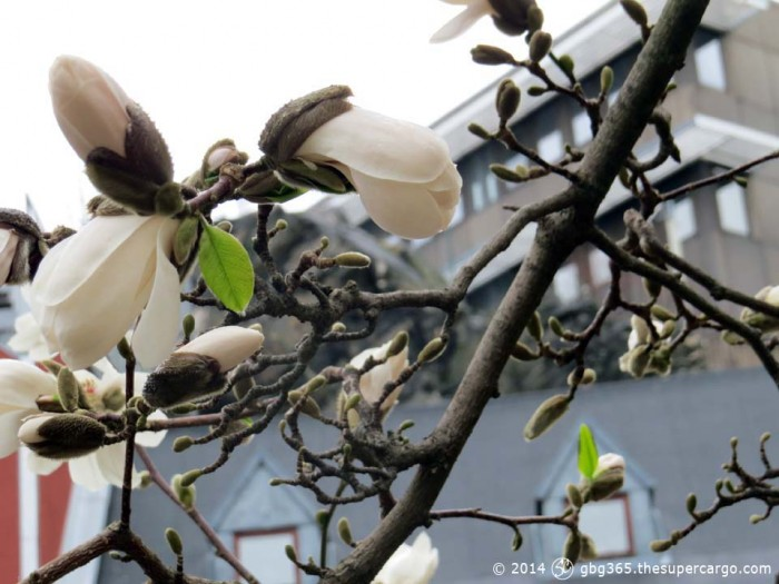 Flowering magnolia in the rain