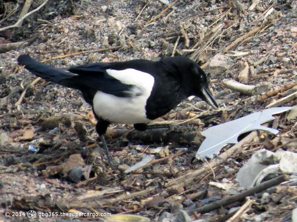 Magpie exploring