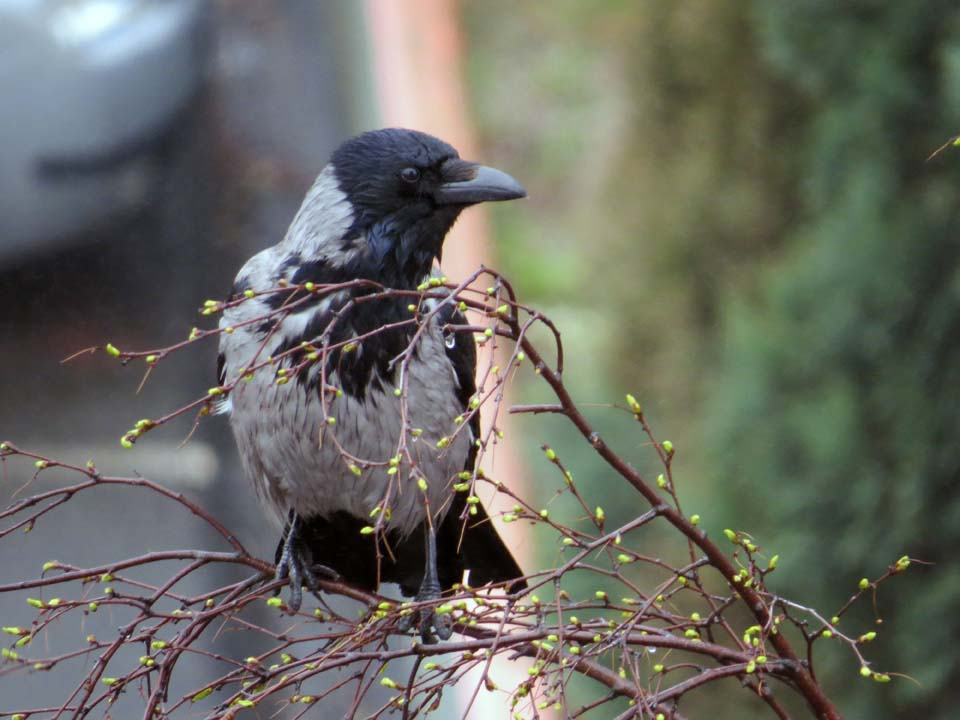 Bedraggled crow
