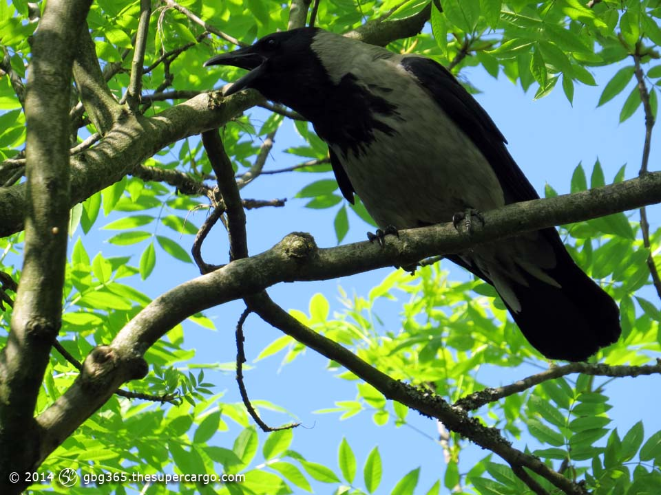 Caw-caw the carrion crow