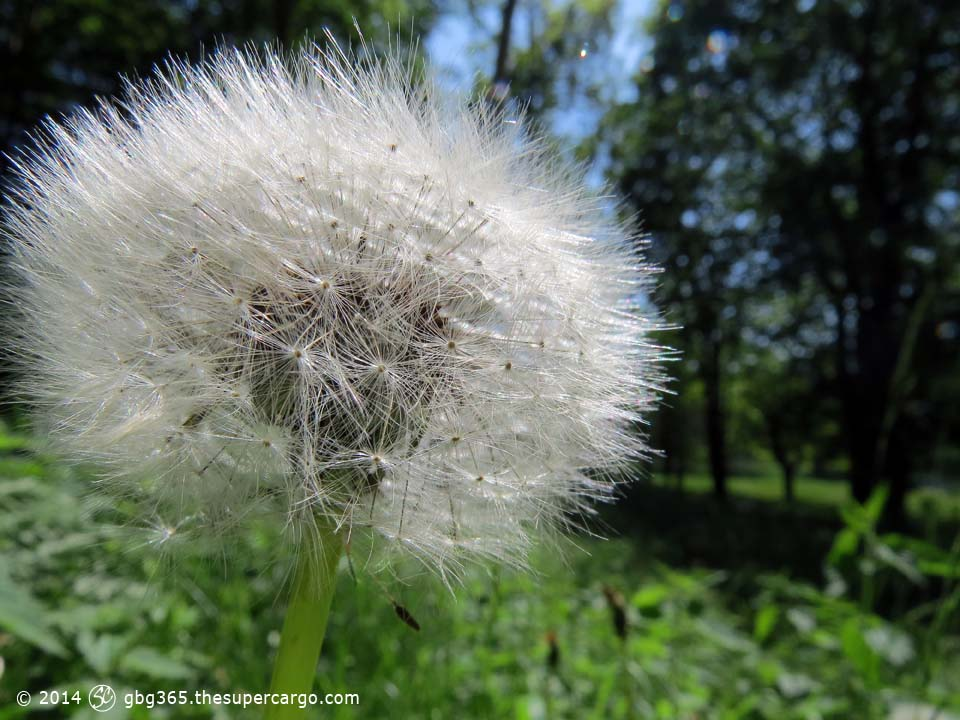 Dandilion seedhead