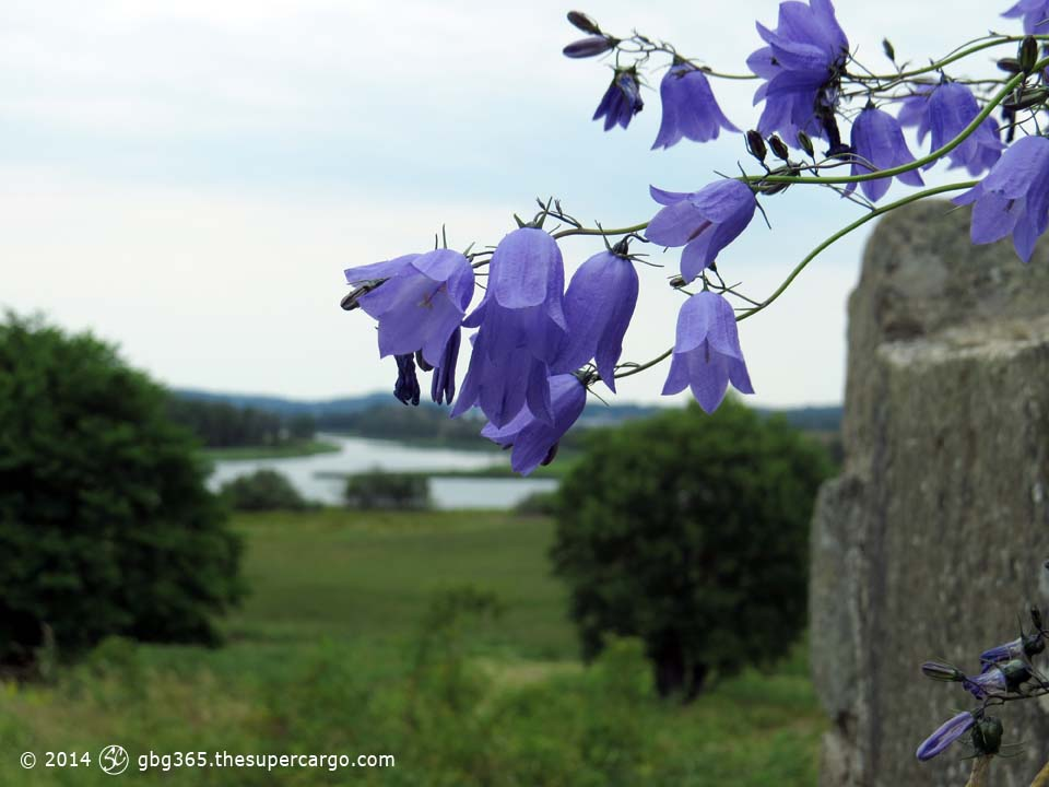 Harebells at Ragnhildsholme