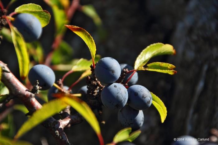Slo berries