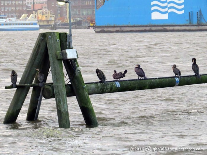 Perching cormorants