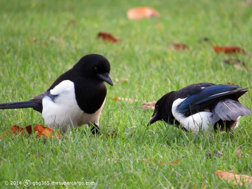 Magpie conversation