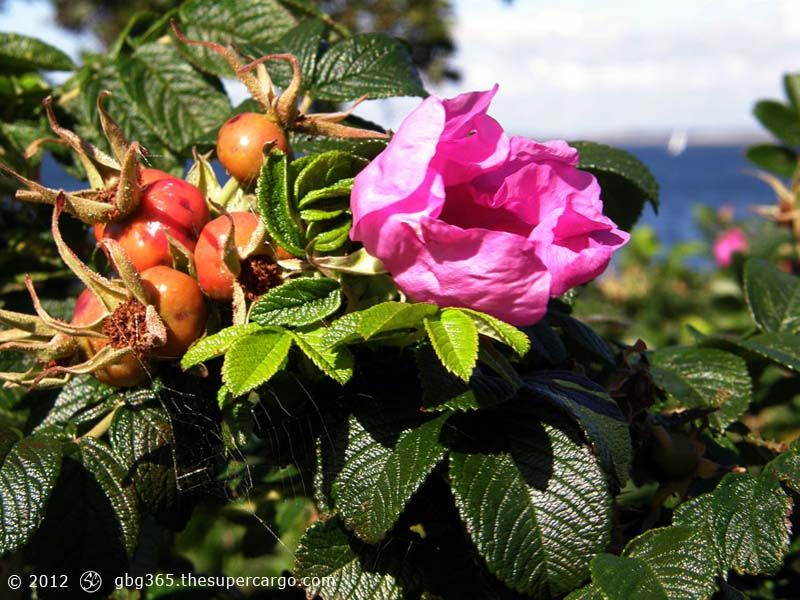 briar-rose-with-rose-hips-against-the-sea.jpg