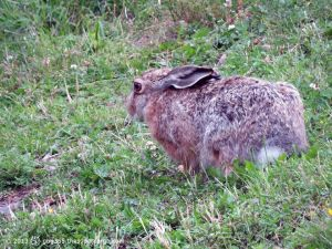 City hare