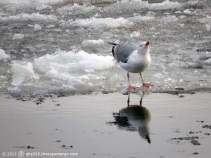Drinking gull