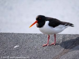 Oystercatcher in the sun