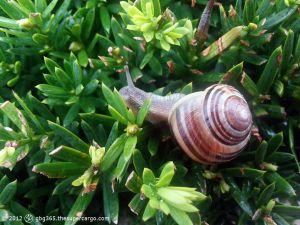 The snail's on the privet