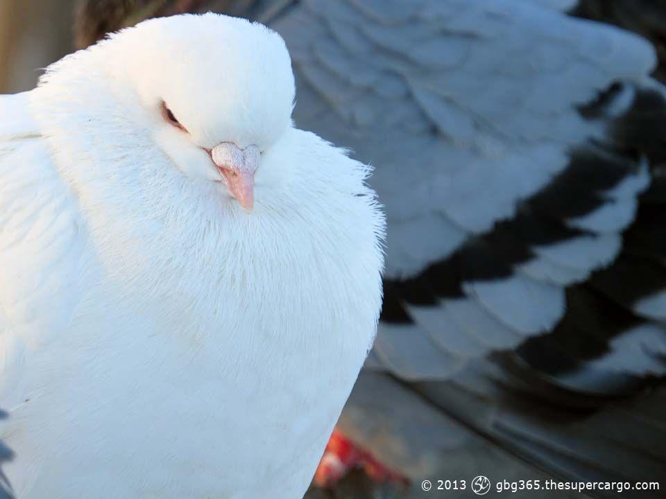 albino-pigeon.jpg