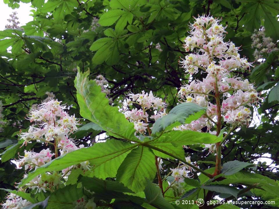 chestnut-flowers.jpg