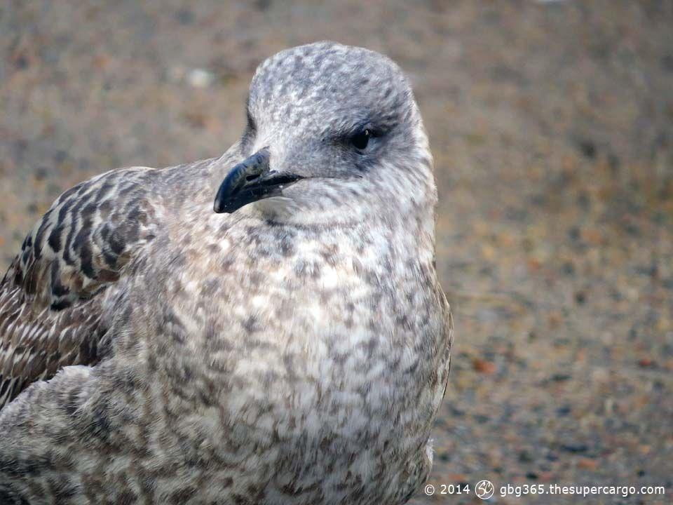 young-gull.jpg