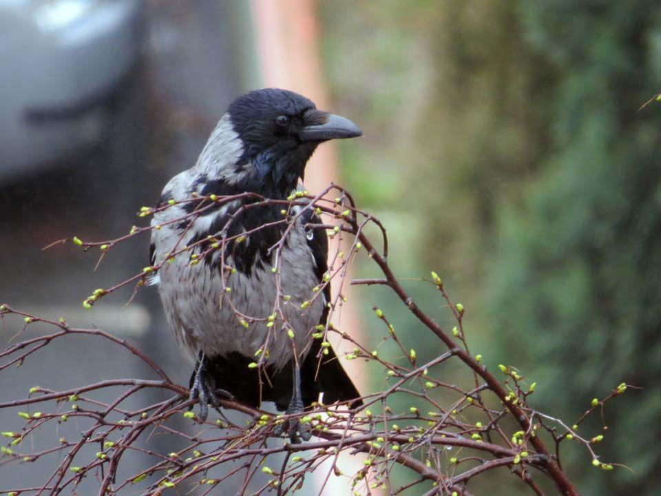 rain-bedraggled-crow.jpg