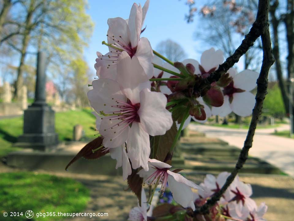 blossom-in-the-churchyard.jpg